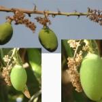 Mangoes at the starting of season.