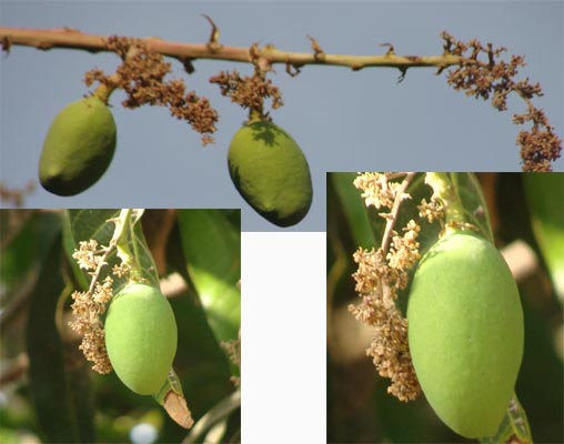 Mangoes at the starting of season.