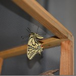 butterfly-11_thumb.jpg