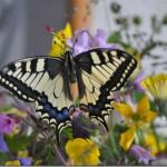 butterfly-13_thumb.jpg